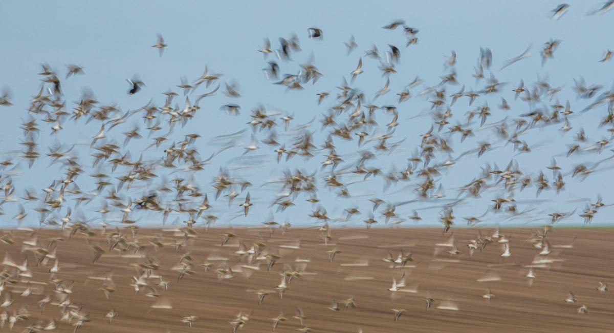 Synchronisation aérienne des oiseaux hivernants