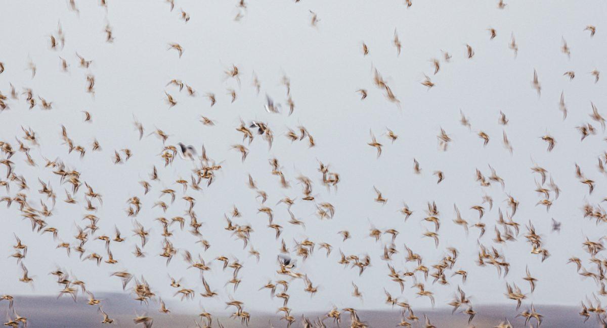 Hivernage des vanneaux huppés et des pluvier dorés dans les plaines de Beauce.